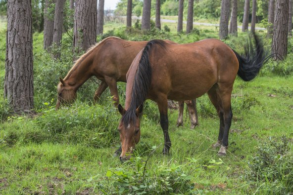 סוסים ביער החדש