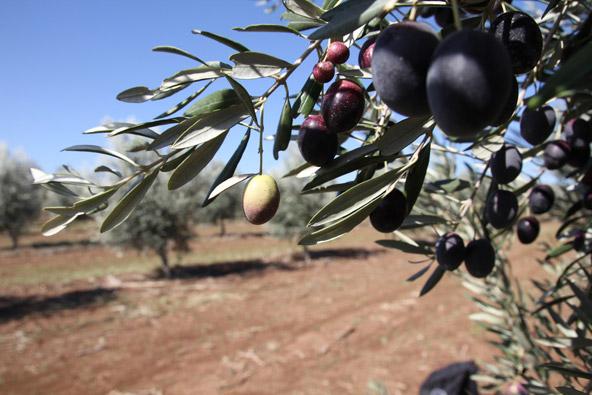 שמן זית ישראלי: אנחנו על המפה