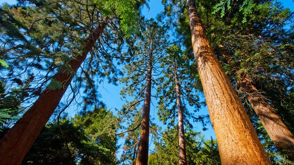 חורשת עצי סקוויה. לצד חממות וערוגות פרחים יש בגנים חורשות ויערות