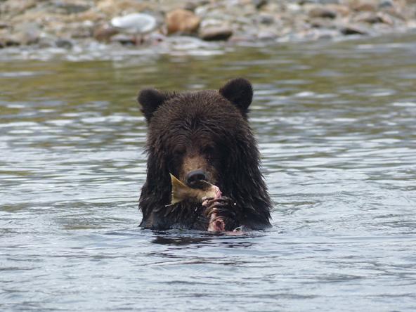 ארוחה בנהר: דב אוכל דג סלמון שצד זה עתה
