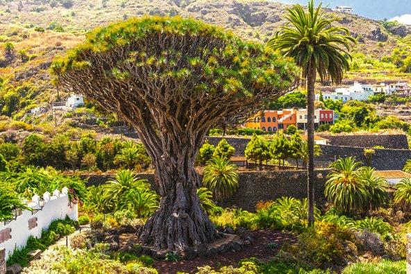 עץ הדרקון העתיק של איקוד דה לוס וינוס