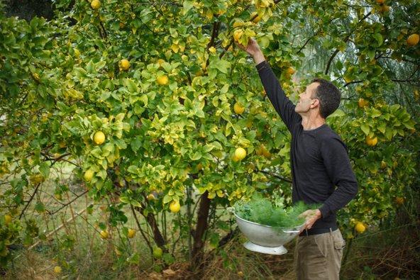 עץ לימון בבוסתן של מסעדת רוטנברג