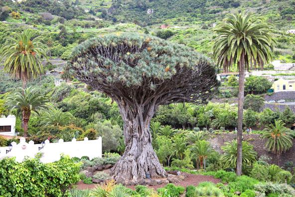 עץ הדרקון באיקוד דה לוס וינוס, אחד העצים העתיקים בעולם, שגילו נאמד ביותר מאלף שנה