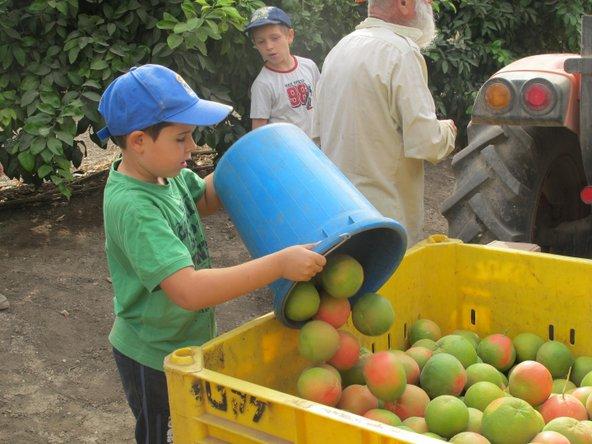 קטיף תפוזים בלקט ישראל. גם ילדים מוזמנים | צילום: לקט ישראל