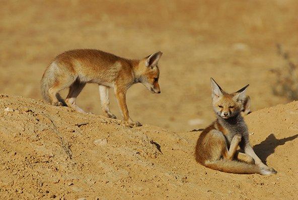 גורי שועל מצוי. מגון היונקים בשמורה כולל שועלים, זאבים, צבועים ועוד