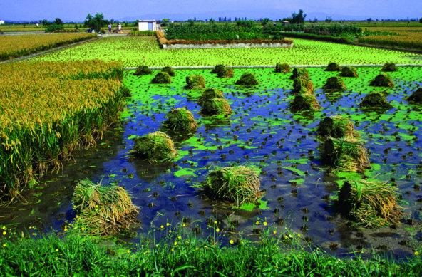 שדות אורז בדלתת האברו | צילום: José Luis Rodríguez_Agència Catalana de Turisme