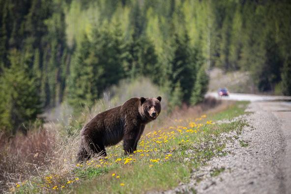 מפגש דובי על אם הדרך. התקווה לראות דובים התגשמה שש פעמים במהלך הטיול   צילום: רפי קורן