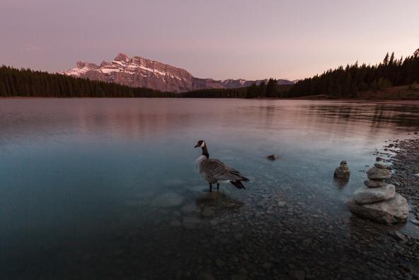 אווז קנדי באגם טו ג'ק | צילום: רפי קורן