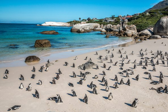 פינגווינים בחוף בולדרס בקייפטאון