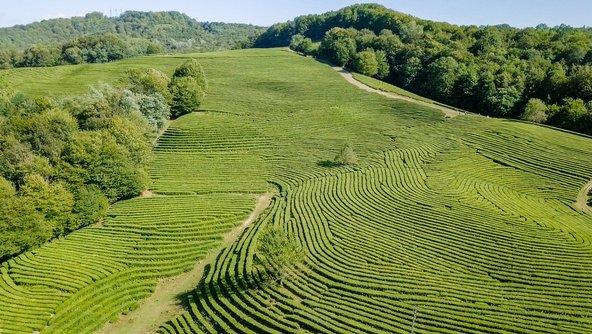 מטעי התה הצפוניים בעולם בסוצ'י