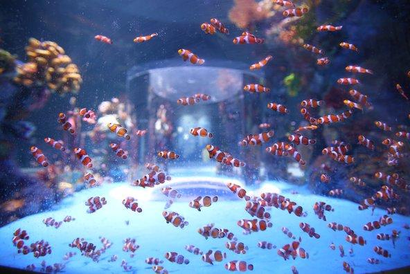 דגי ליצן בגלריית ים סוף, צילום: שלומי כהן