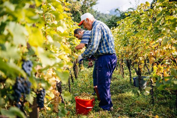 בציר ענבים בגאורגיה. כל ארוחה היא סיבה למסיבה, והיין המקומי מוסיף לשמחה