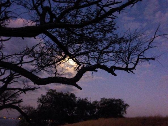 הירח מבצבץ בין ענפי עץ   צילום: רותם פריפר