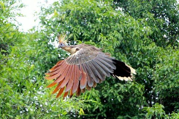 הואצ'ין - מין עוף קדום