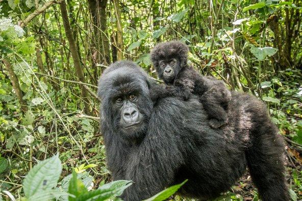 מפגש עם גורילות הרים בטבע הוא מהחוויות המיוחדות שקונגו מציעה למבקרים בה