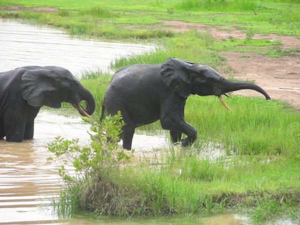 פילים רוחצים בנהר בפארק הלאומי מולה בגאנה