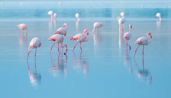 פלמינגו באגם המלח