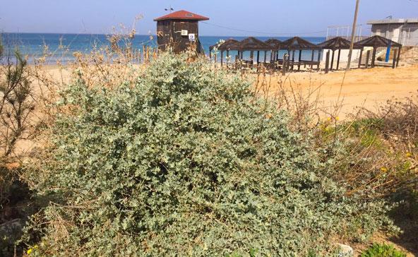 אפילו בחוף, כמה צעדים מקו המים, אפשר למצוא צמחים לליקוט | צילום: יתיר שדה