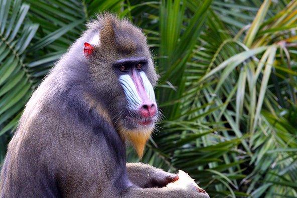 בגינאה המשוונית עולם חי עשיר הכולל מינים רבים של קופים