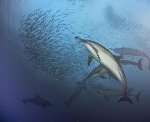 בזמן נדידת הסרדינים, דולפינים עובדים בשיתוף כדי לרכז את הסרדינים לכדור ענק