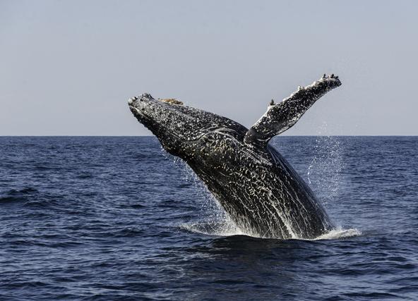 לווייתן גדול סנפיר פורץ מהמים. הסרדין ראן הוא הזמן הטוב ביותר לראות לווייתנים