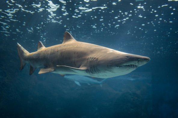 כריש באקווריום של כרתים
