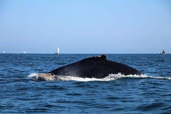 לווייתנים, מנקורה
