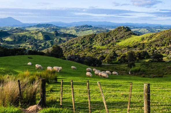 הכי רחוק מהלחץ של המזרח התיכון. כבשים רועות בגבעות ירוקות באי הצפוני