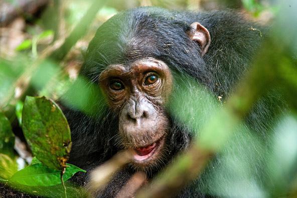 שימפנזה מציצה מבעד ענפי עץ ביער קיבלה