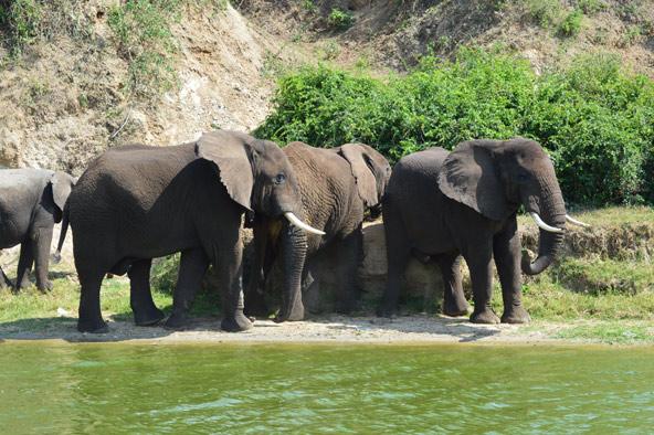 עדר פילים מגיע להרוות את צימאונו במי הנהר | צילומים בכתבה: עודד אביעד