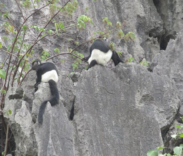 שניים משישה קופי Delacour's Langur שראינו. בטבע נותרו רק 200 קופים כאלה