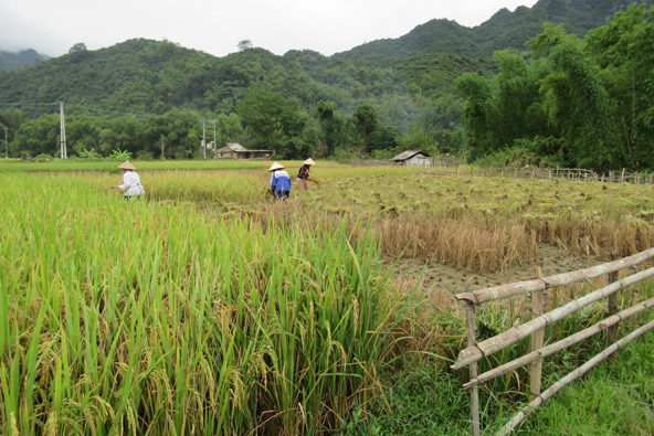 נשים בכובעי קש מחודדים קוצרות אורז. פכפוך המים הזורמים בין החלקות משמש פסקול מופלא למראות