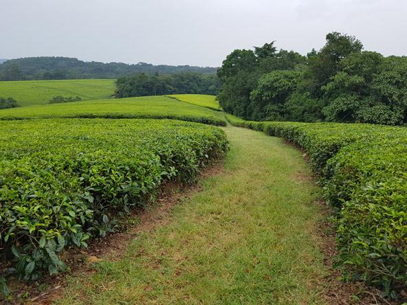 מטעי תה רחבי ידיים פזורים באזור אגמי הלוע