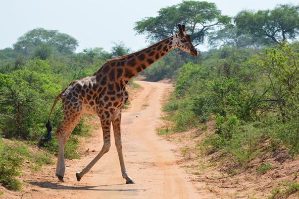 טיול לאוגנדה: אל נופי הפרא