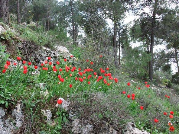 פריחת צבעונים ביער ירושלים | צילום: דרור פייטלסון, מתוך אתר פיקיויקי