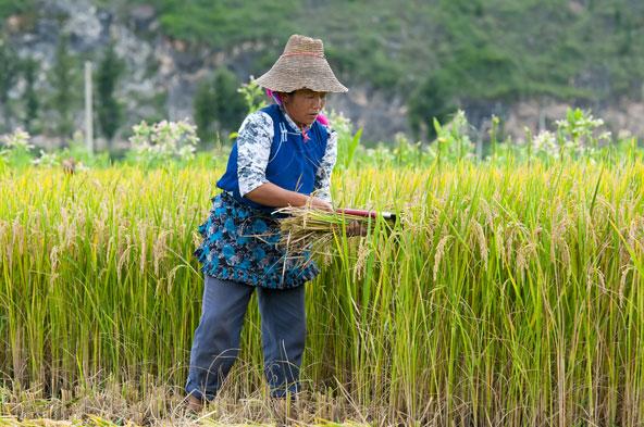 קציר אורז. הסינים בייתו את התה, הסויה, הליצ'י, וכמובן את האורז