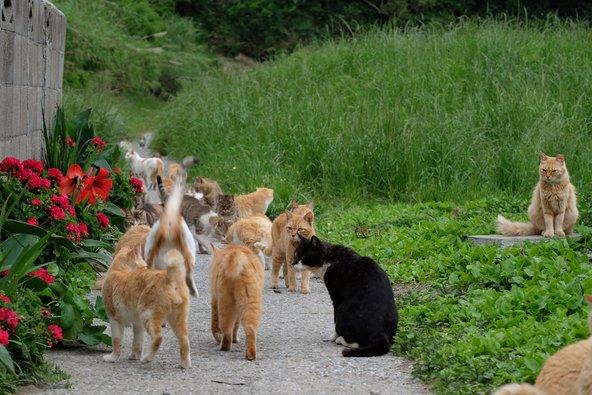 החתולים הם אדוני האי אאושימה ביפן