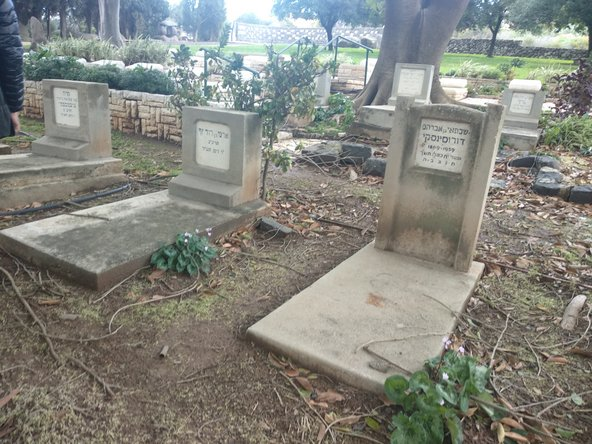 בית הקברות של עין חרוד. הרקפות מציצות בין המצבות