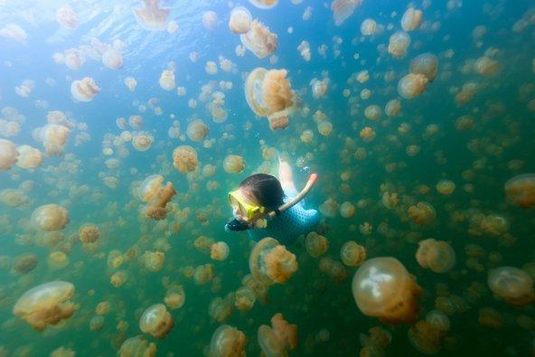 באגם המדוזות בפלאו אפשר לשחות ולצלול לצד מדוזות ללא חשש
