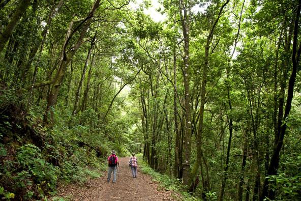 מסלול הליכה בלב יער בצפון האי טנריף