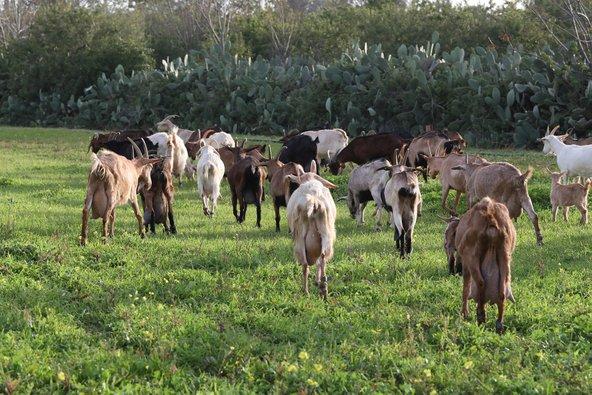 העזים של עיזה פזיזה יוצאות למרעה. התנאים בהן חיות העזים תורמים לטעמן המשובח של הגבינות