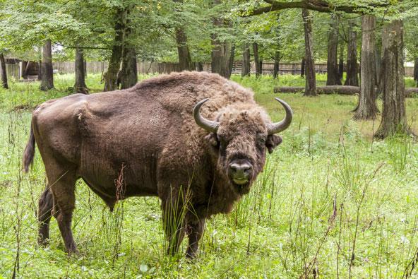 ביזון אירופי בפארק הלאומי ביאלובייסקה במזרח פולין