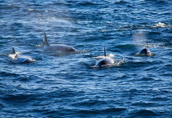 הקטלנים (אורקות) שוחים בלהקות וצדים בשיתוף פעולה ותחכום רב את טרפם