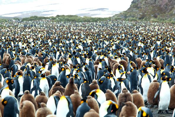 מושבה של פינגווינים מלכותיים עם גוזליהם (בצבע חום). ההבדל הוא לא במראה אלא בקולות