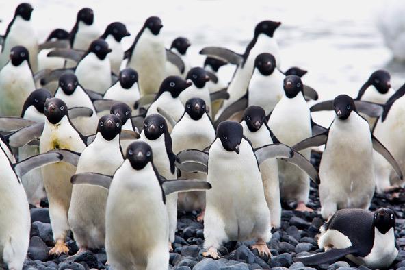 פינגוונים מדדים בחבורה. עוף שלא עף, וגם בהליכה הוא לא משהו, אבל הוא שחיין מצוין