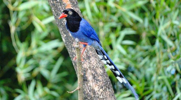 עקעק טייואני כחול, מהציפורים האנדמיות לטייוואן | צילומים: שאטרסטוק