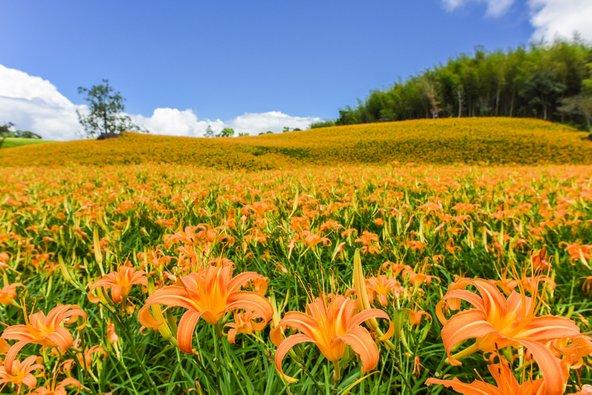 מרבדים של פרחי לילי כתומים בליו שי דן
