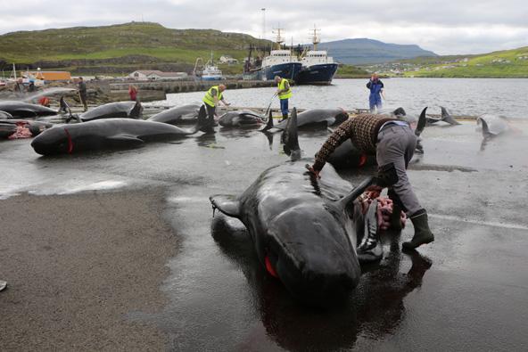 גופות לווייתנים שניצודו ליד איי פארו בצפון האוקיינוס האטלנטי