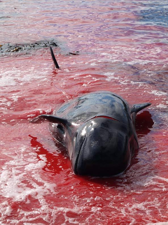 הלב נשבר: גופה של לווייתן גדול סנפיר שניצוד בצפון האוקיינוס האטלנטי