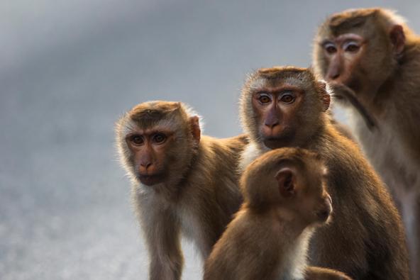 קהאו יאי, תאילנד: ארץ הקופים המזמרים